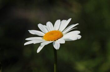 daisies-3471286_1920